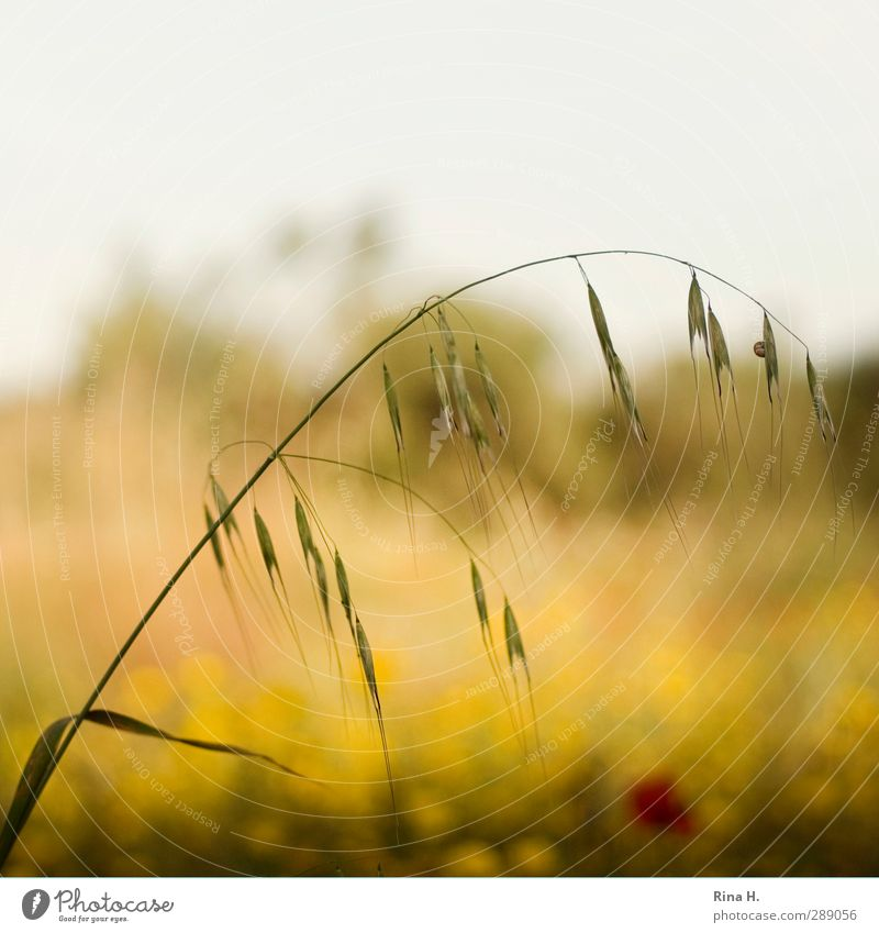 spring Spring Beautiful weather Field Blossoming Natural Yellow Joie de vivre (Vitality) Spring fever Grain Blade of grass Square Colour photo Exterior shot