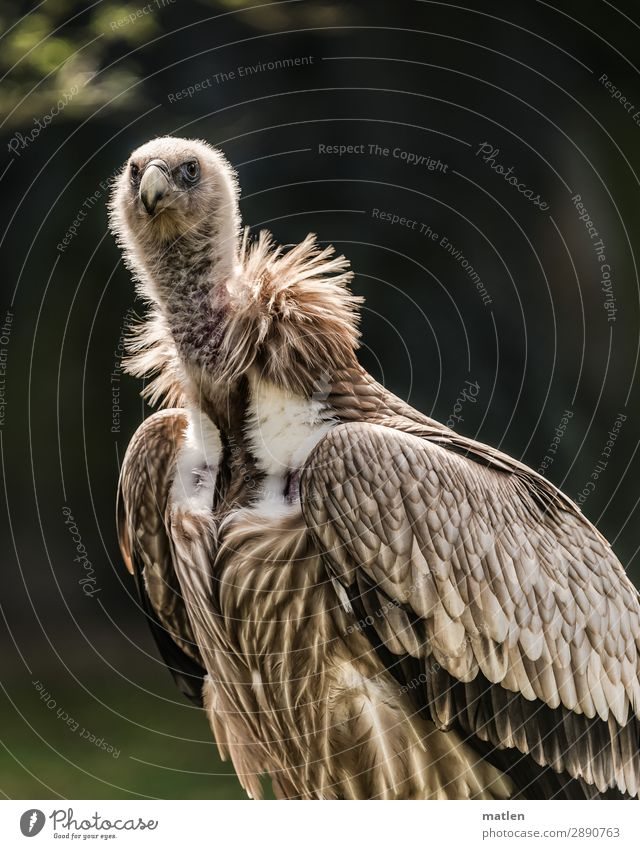 Madam Animal Bird 1 Observe Brown Green Vulture Skeptical Colour photo Subdued colour Exterior shot Close-up Copy Space left Copy Space right Copy Space top