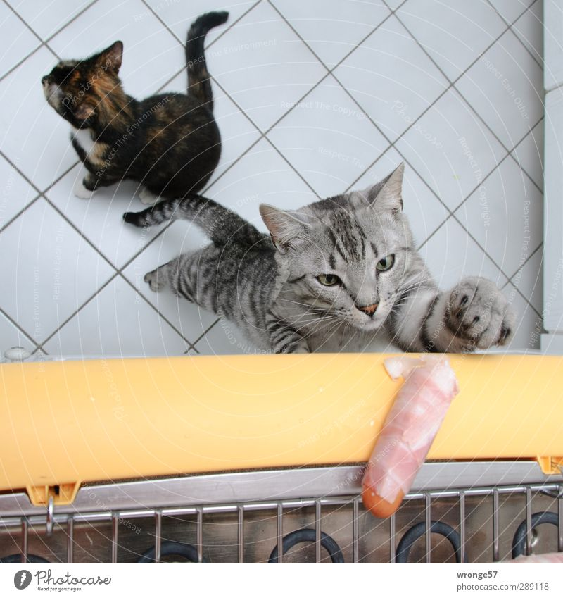 temptation Sausage Flat (apartment) Kitchen Brash Delicious Pet Cat Domestic cat lucky cat Barbecue (apparatus) Barbecue (event) Alluring Gray velvet paws