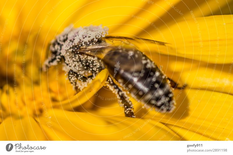 Bee full of pollen Trip Expedition Summer Environment Nature Sun Spring Beautiful weather Flower Blossom Garden Park Meadow Animal Farm animal Wild animal Wing