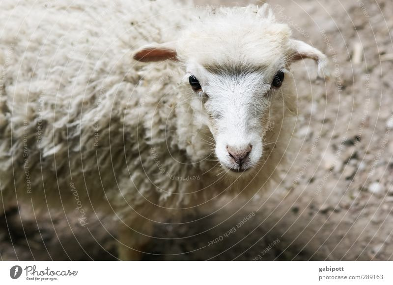 Innocence from the country Animal Pet Farm animal Wild animal Animal face Pelt Lamb's wool Sheep Cute Innocent Observe Stand Friendliness Cuddly Natural Soft