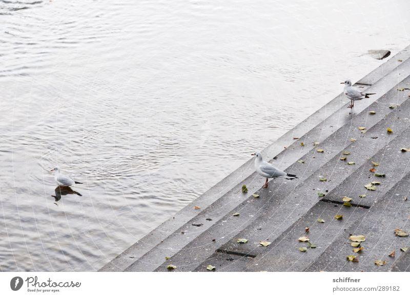 staircase joke Animal Wild animal Bird 3 Group of animals Stand Gray Seagull Gull birds River bank Levee Bank reinforcement Sea promenade Stairs Level Water