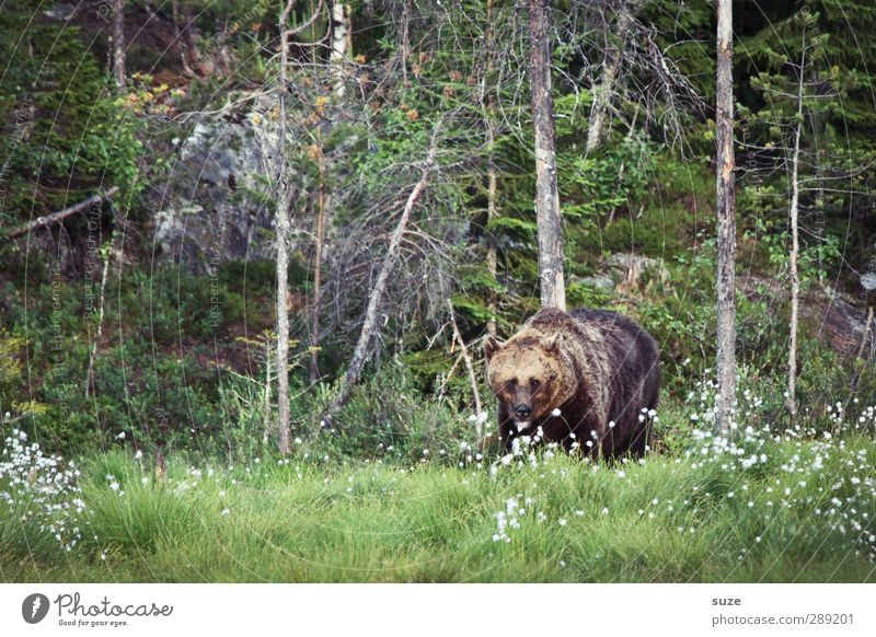 growler Hunting Environment Nature Landscape Animal Meadow Forest Pelt Wild animal 1 Observe Threat Curiosity Strong Brown Green Appetite Fear Force Bear