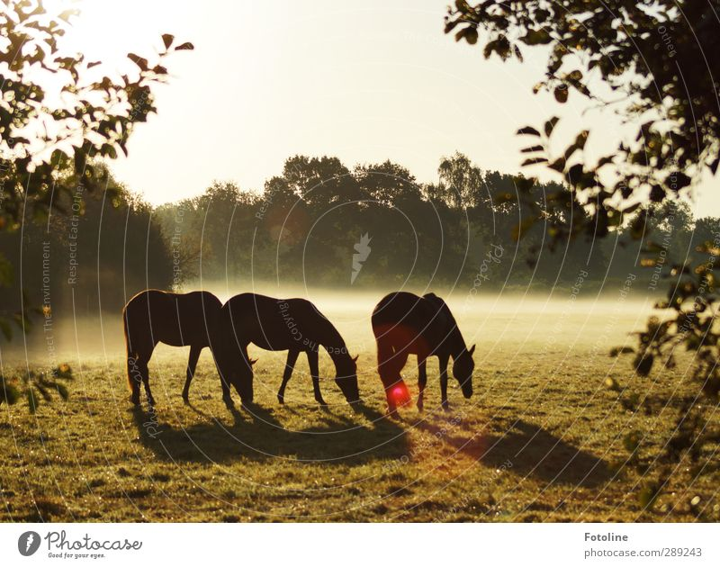 breakfast Environment Nature Plant Animal Sky Cloudless sky Autumn Fog Tree Leaf Meadow Farm animal Horse Bright Beautiful Cold Natural Pasture To feed