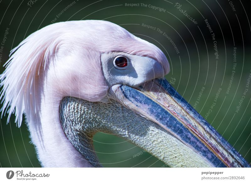 pelican Animal Farm animal Bird Animal face Pelican Looking Pink Eyes Beak Neck Feather Head Colour photo Long shot Animal portrait