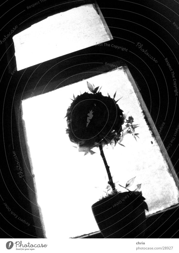 Flower Dark Window Bright Rose Perspective Obscure