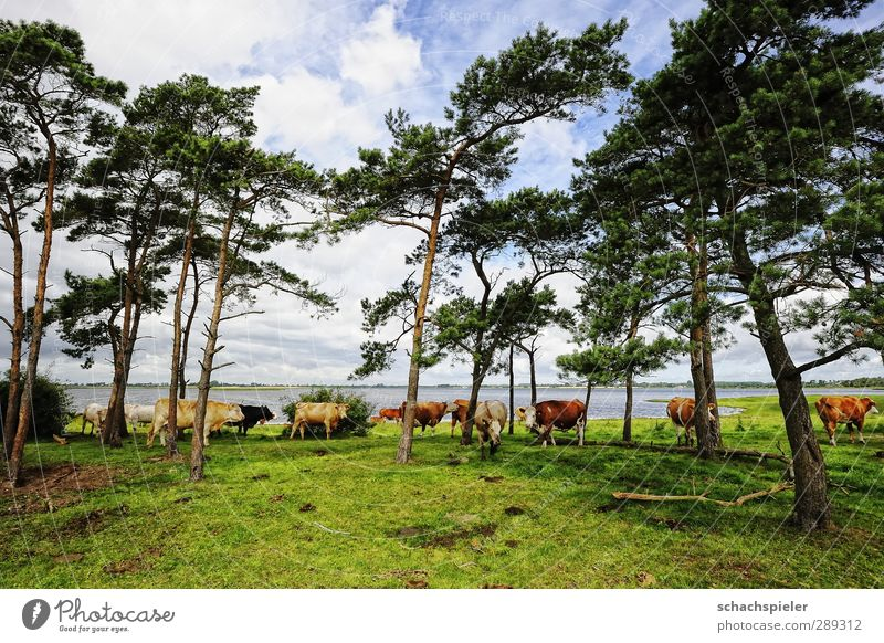 Sky Nature Blue Green White Tree Ocean Clouds Environment Meadow Brown Group of animals Agriculture Pasture Baltic Sea Cow