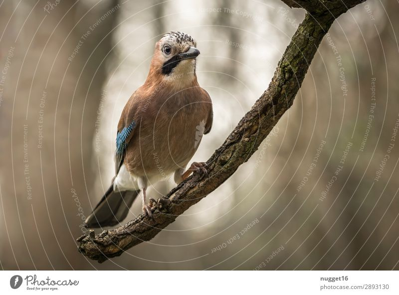 Jay 2 Environment Nature Animal Sunlight Spring Summer Autumn Beautiful weather Tree Branch Garden Park Forest Wild animal Bird Animal face Wing Claw 1 Esthetic