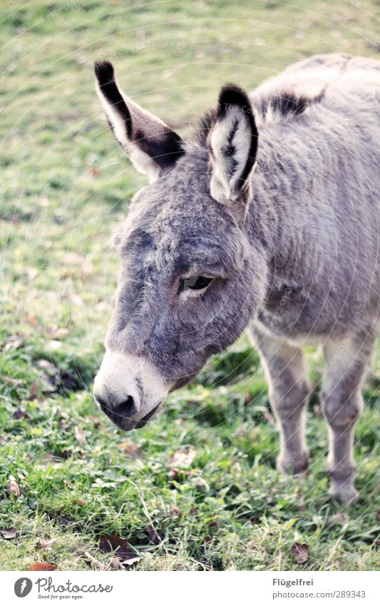 fleece package Animal 1 Stand Donkey Meadow Ear Elapse Loneliness eavesdrop Think Cute Gray Colour photo Subdued colour Exterior shot Day