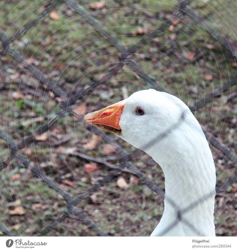 free-range husbandry after all Farm animal 1 Animal Looking Goose Feasts & Celebrations Captured Sadness Exterior shot Meadow Free-range rearing Bird Fence
