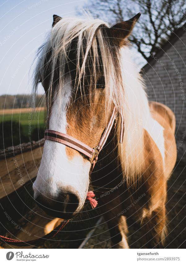 horse Leisure and hobbies Ride Equestrian sports Sportsperson Animal Pet Farm animal Horse 1 Blonde Healthy Brown Joie de vivre (Vitality) Loyal Adventure