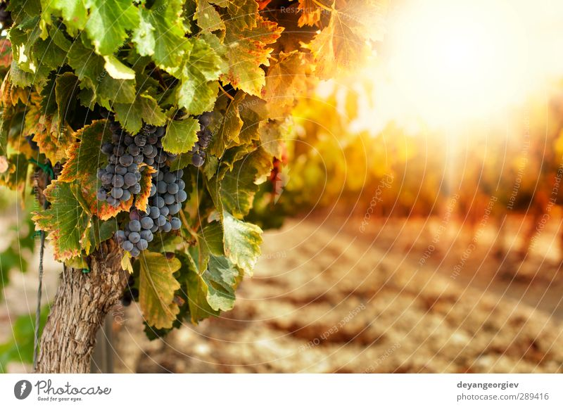 Vineyards at sunset in autumn harvest Tourism Summer Nature Landscape Plant Sky Autumn Leaf Growth Fresh Yellow Green Red Colour Rural agriculture vine field
