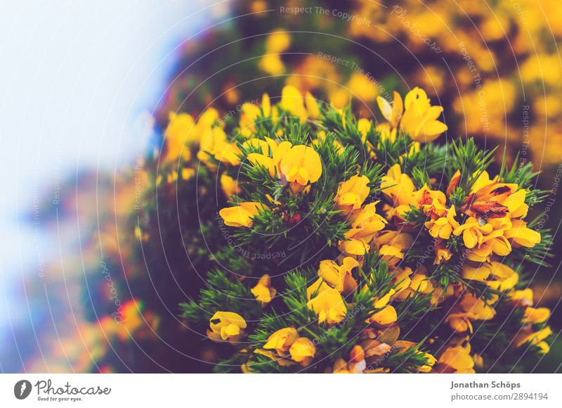 Vacation & Travel Nature Plant Landscape Flower Yellow Environment Spring Hiking Esthetic Bushes Discover Scotland Great Britain Thorn Prism