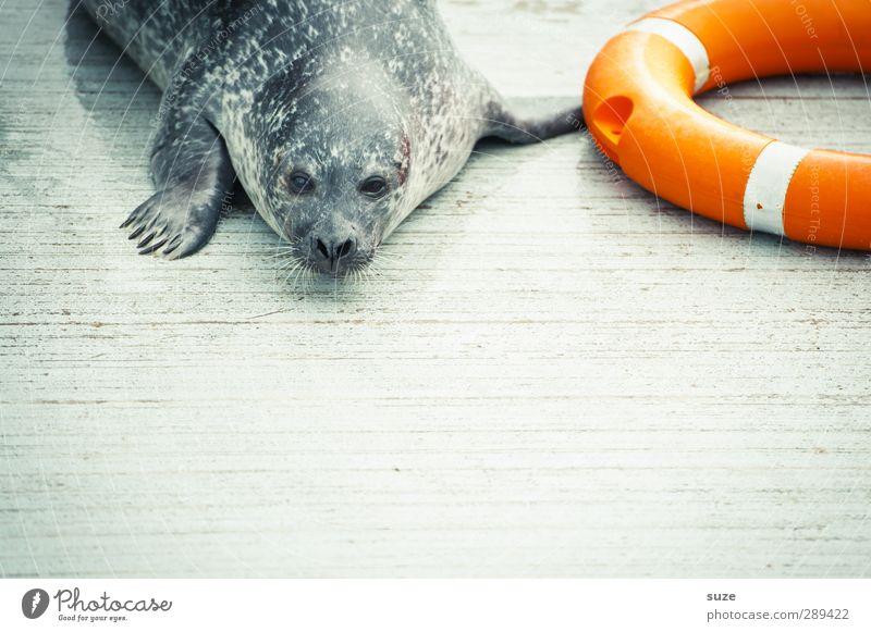 Rescue for the end of the world Animal Wild animal Animal face 1 Lie Wait Funny Curiosity Cute Orange Fatigue Harbour seal Seals Life belt Animal protection