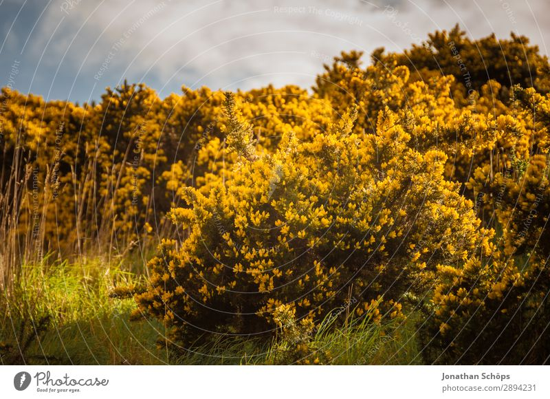 Sky Vacation & Travel Nature Plant Landscape Flower Yellow Environment Spring Meadow Freedom Hiking Esthetic Bushes Discover Scotland