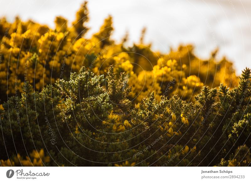 Vacation & Travel Nature Plant Landscape Flower Yellow Environment Spring Tourism Freedom Hiking Esthetic Bushes Discover Scotland Great Britain