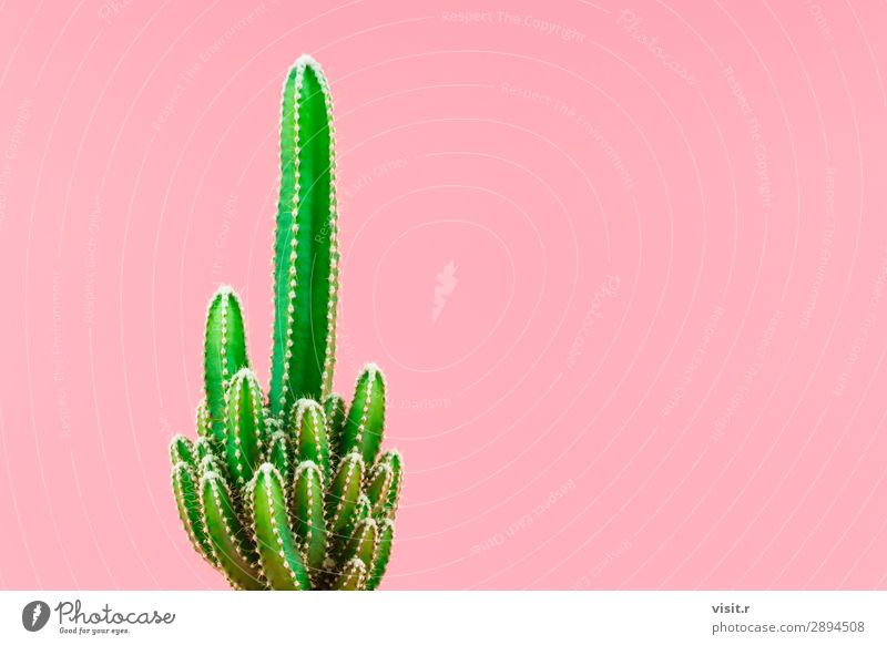 Green cactus minimal stillife style. Interior design Decoration Environment Nature Plant Tree Cactus Blossom Pot plant Exotic Modern Pink Eroticism Style Art