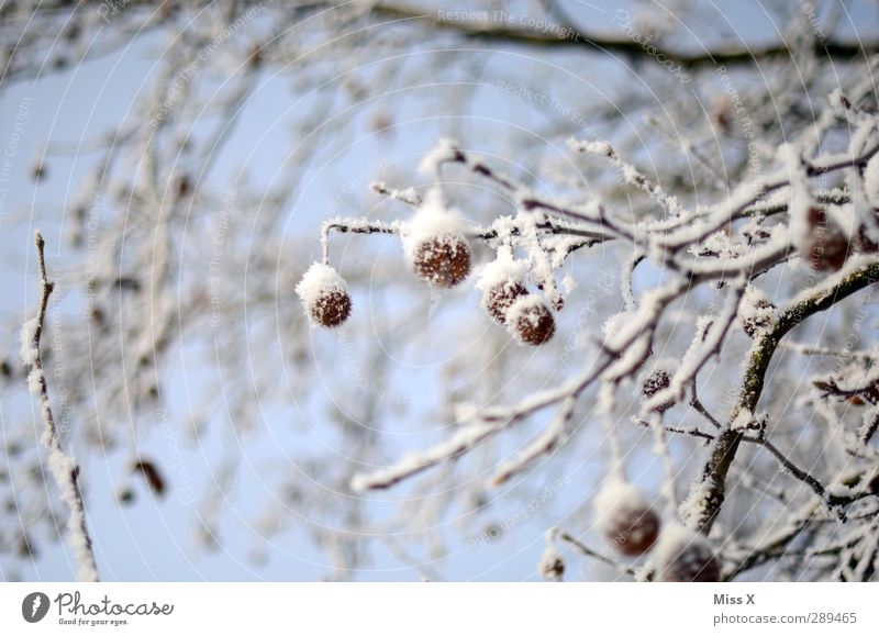 winter Winter Ice Frost Snow Tree Bushes Cold White Tuft American Sycamore Branch Colour photo Exterior shot Close-up Deserted Shallow depth of field