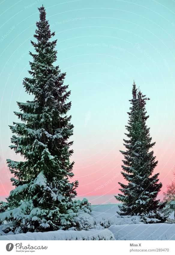 winter Nature Winter Beautiful weather Ice Frost Snow Tree Large Cold White Fir tree 2 Colour photo Multicoloured Exterior shot Deserted Copy Space top Morning