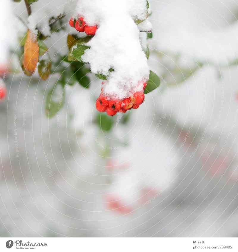 winter Winter Ice Frost Snow Plant Bushes Cold Red White Berries Colour photo Multicoloured Exterior shot Close-up Deserted Copy Space bottom