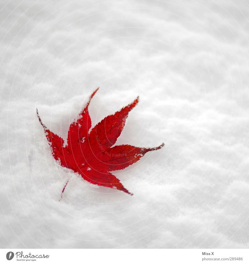 winter Winter Snow Leaf Cold Red Maple leaf Colour photo Multicoloured Exterior shot Close-up Deserted Copy Space right Copy Space top Neutral Background