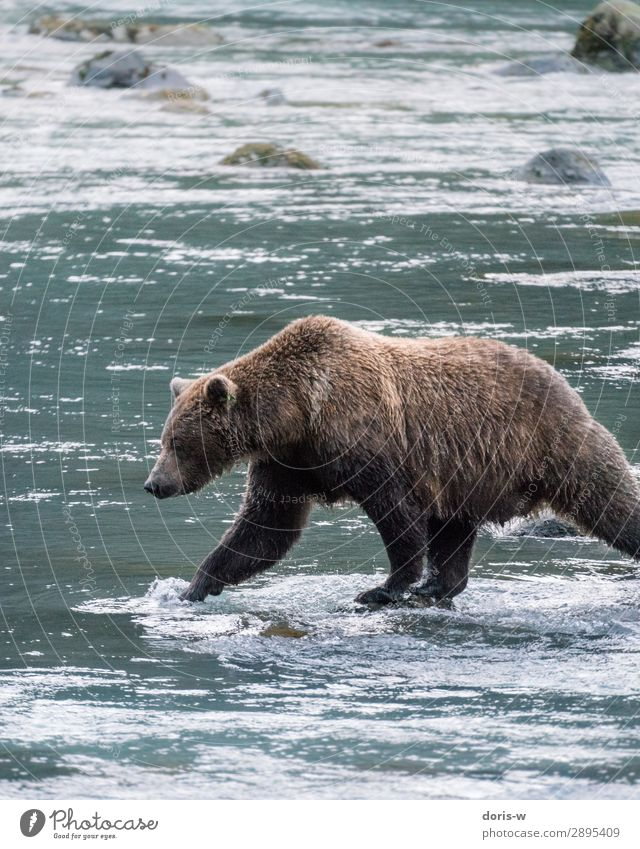 Brown bear on salmon catch Hiking Nature Water Animal Wild animal 1 Adventure Power Survive Bear Grizzly Fishing (Angle) River Alaska Canada Going Pelt