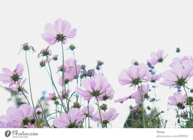 Oh no, but not / no last flower picture Plant Summer Flower Blossom Wild plant Green Violet Pink White Anemone Delicate Many Multiple Perspective Subdued colour