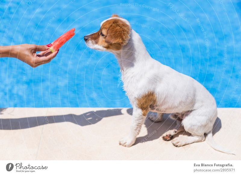 woman giving watermelon to her dog. swimming pool background Fruit Diet Joy Swimming pool Vacation & Travel Summer Summer vacation Sun Human being Feminine