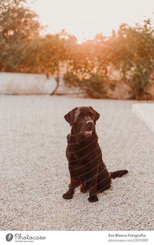 portrait of a beautiful black labrador enjoying sunset. Happy Beautiful Face Playing Summer Friendship Nature Animal Sky Sun Beautiful weather Grass Garden Park