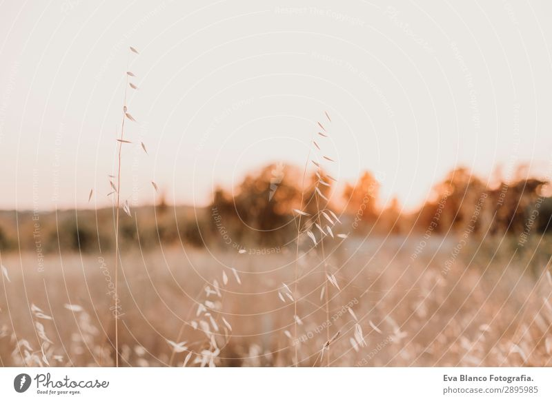 Yellow field.Beautiful Nature Sunset Landscape. Rural Scenery Bread Summer Environment Plant Horizon Weather Meadow Field Growth Bright Gold Conceptual design