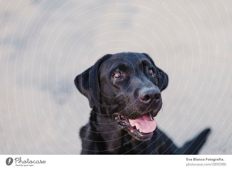 portrait outdoors of a beautiful black labrador Lifestyle Elegant Joy Happy Beautiful Playing Summer Friendship Adults Animal Pet Dog 1 Observe Smiling