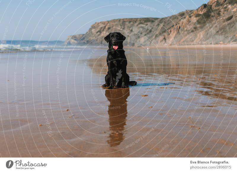 beautiful black labrador sitting on the sea shore Vacation & Travel Nature Dog Summer Blue Beautiful White Sun Ocean Relaxation Animal Joy Beach Lifestyle Coast