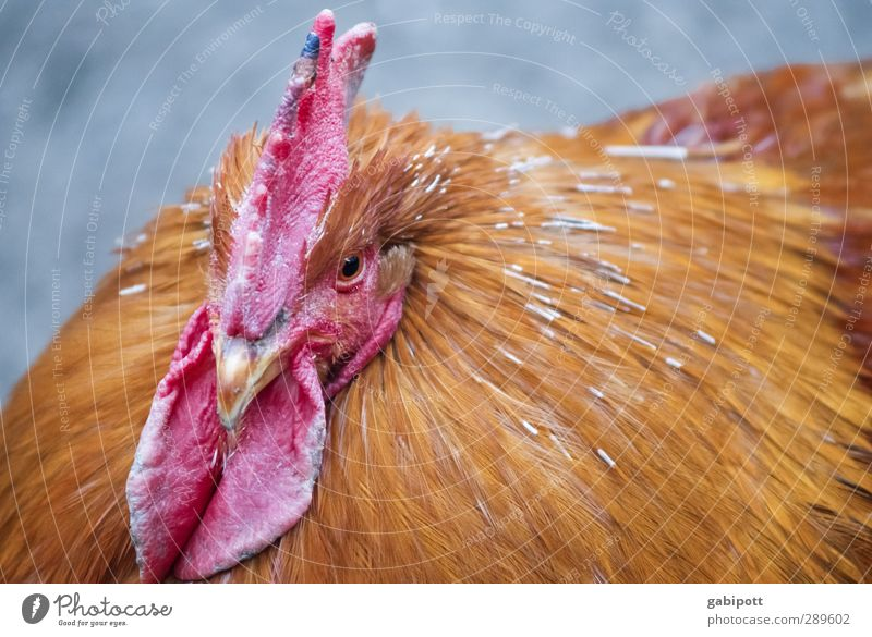 Oh, no, the chickens are not laughing. Animal Pet Farm animal Bird Animal face 1 Sustainability Natural Brown Red Happy Joie de vivre (Vitality) Power