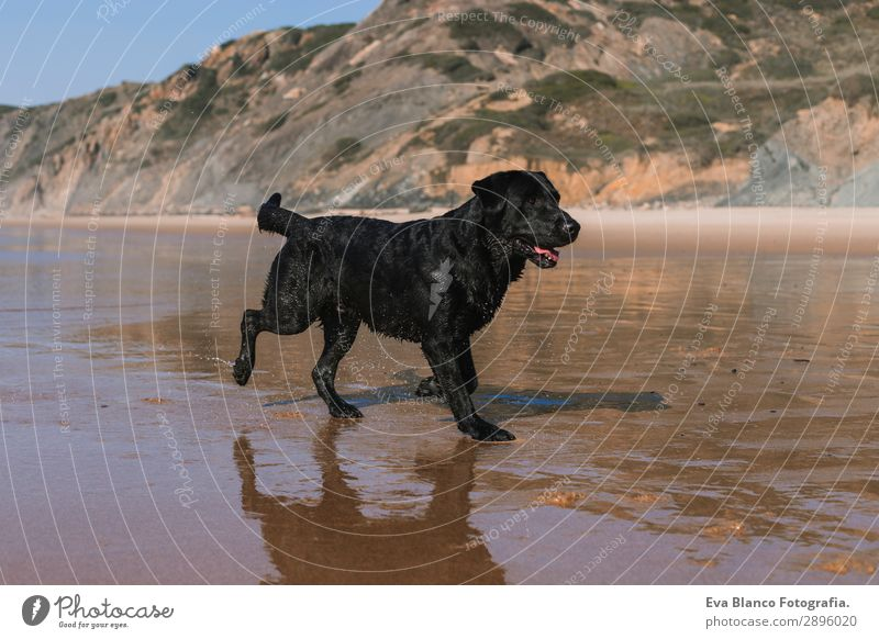 beautiful black labrador walking by the sea shore Vacation & Travel Nature Dog Summer Blue Beautiful White Sun Ocean Relaxation Animal Joy Beach Lifestyle Coast