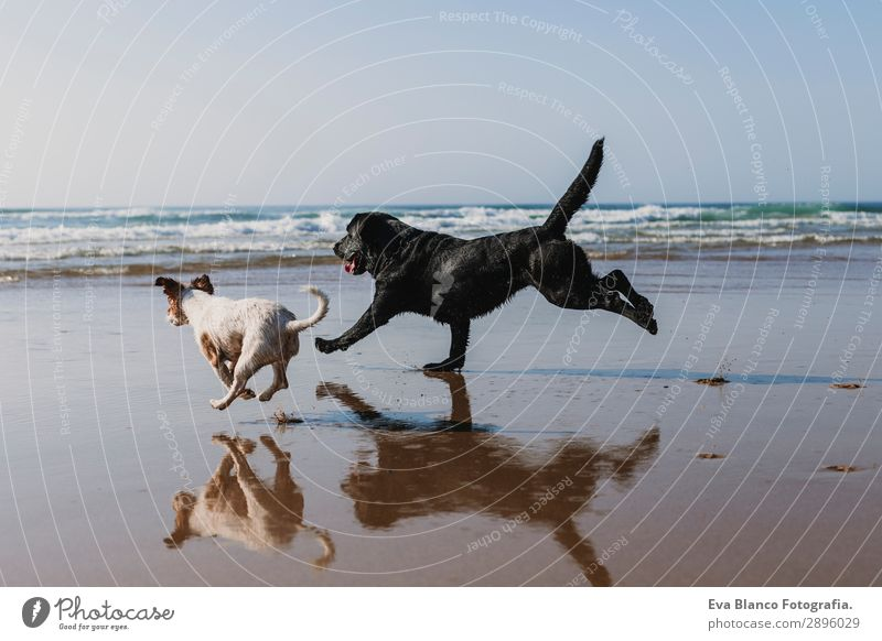 two happy dogs having fun at the beach. Running Vacation & Travel Nature Dog Summer Blue Beautiful White Sun Ocean Relaxation Animal Joy Beach Lifestyle Happy