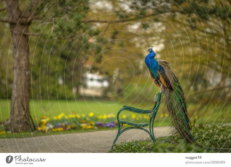 Peacock on park bench Environment Nature Landscape Plant Animal Spring Summer Autumn Beautiful weather Tree Flower Grass Bushes Garden Park Meadow Forest Pet