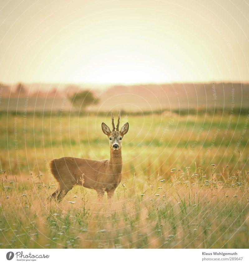 """""""It's a deer spring"""" Nature Summer Grass Meadow Wild animal Pelt reindeer buck 1 Animal Brown Yellow Green Roe deer Antlers Hunting Deerstalking Colour photo"""