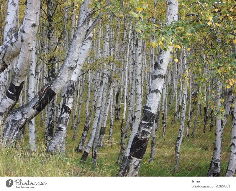 Russia | Beresa Nature Plant Tree Birch tree Forest Birch wood Green White Tree bark Autumn Early fall Colour photo Subdued colour Exterior shot Deserted