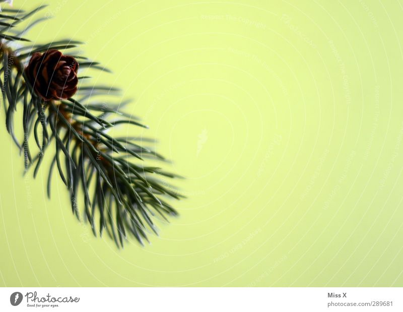fir branch Leaf Green Fir branch Fir tree Cone Fir needle Colour photo Close-up Deserted Copy Space right Neutral Background Shallow depth of field