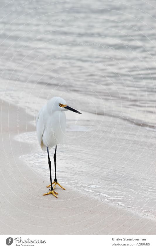 Whiteness I Environment Nature Animal Sand Water Spring Bad weather Waves Ocean Atlantic Ocean Wild animal Bird Little Egret walking bird Heron 1 Observe