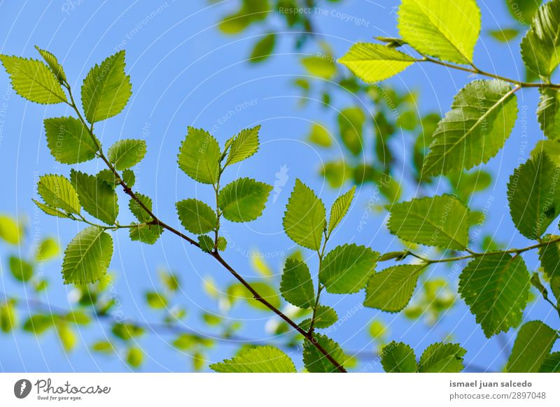 green tree leaves in springtime Tree Branch Leaf Green Nature Abstract Consistency Exterior shot Neutral Background Beauty Photography Fragile Fresh Spring