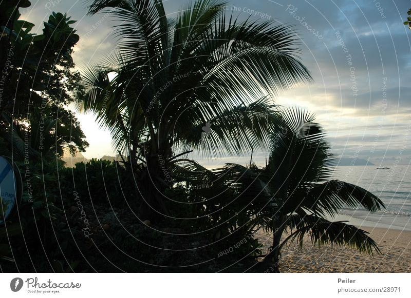 Virgin forest Palm tree Dusk Seychelles Coconut palm