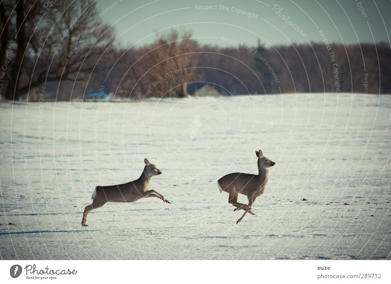I don't have time for haste Hunting Winter Environment Nature Landscape Animal Sky Horizon Snow Tree Field Forest Wild animal 2 Pair of animals Running Movement