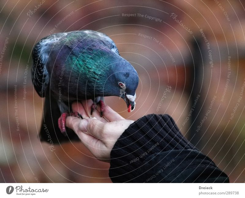 quality control Animal Autumn Park Wild animal Bird Pigeon Animal face Wing Claw 1 Eating To feed Feeding Looking Free Delicious Curiosity Town Trust