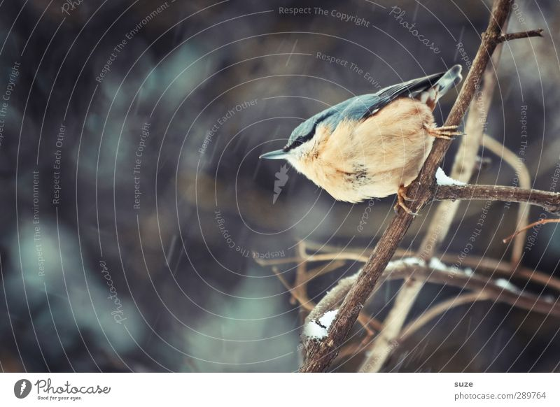 And then there's gonna be another discussion. Am I flying or not? Environment Nature Animal Winter Wild animal Bird 1 Small Natural Cute Eurasian nuthatch