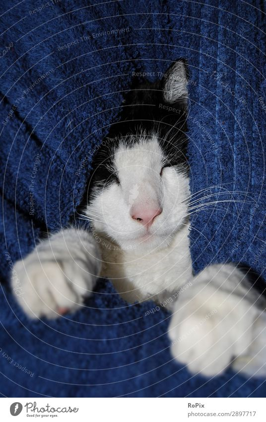 Cat Blue Beautiful Relaxation Animal Calm Love Happy Hair and hairstyles Contentment Elegant Esthetic Cute Sleep Protection Safety