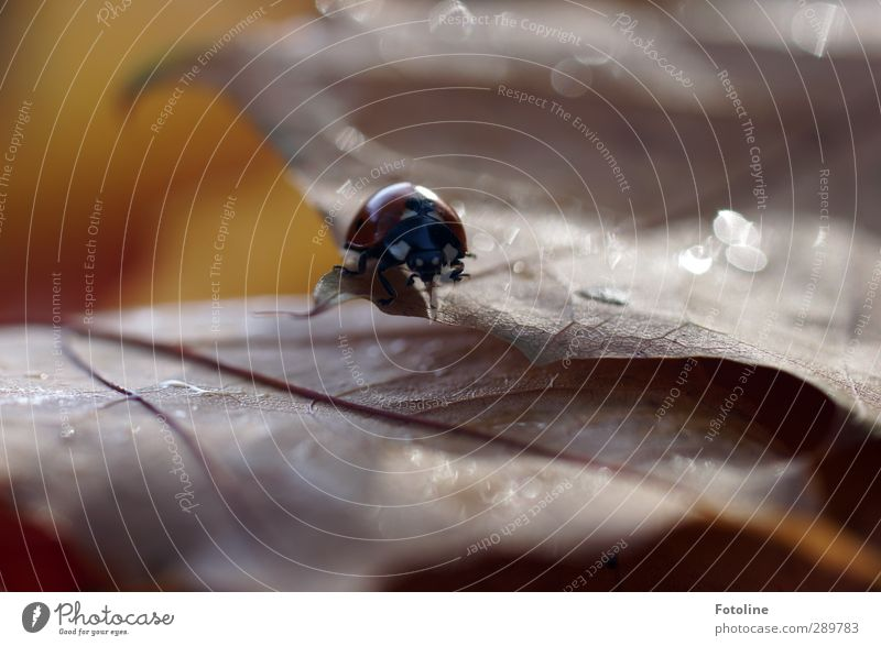 A lot of ladybirds... Environment Nature Plant Animal Elements Water Drops of water Autumn Leaf Beetle 1 Bright Near Wet Natural Brown Red Black Ladybird Insect