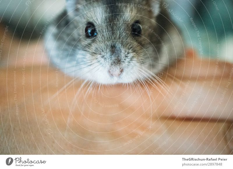 hamsters Animal Pet 1 Yellow Gray Black Silver Hamster Cute Rodent Nose Eyes Hand Stop Caress Interior shot Deserted Day Animal portrait