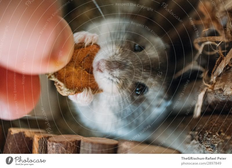 hamsters Animal Pet 1 Brown Gray Black Silver Feeding Hamster Rodent Appetite Hand Living thing Cute Colour photo Deserted Animal portrait