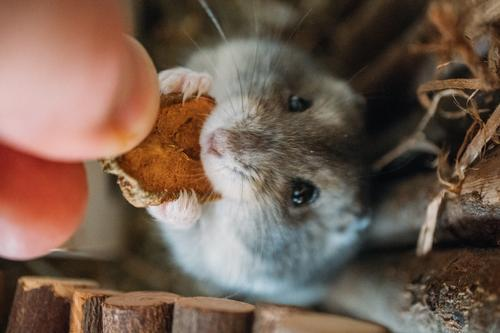 Hand Animal Black Brown Gray Cute Living thing Pet Appetite Silver Rodent Feeding Hamster